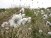 Hare's tail cotton grass